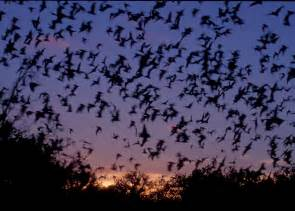 Bats In Tx Mexican Free Tailed Bats Flying Nature S Crusaders