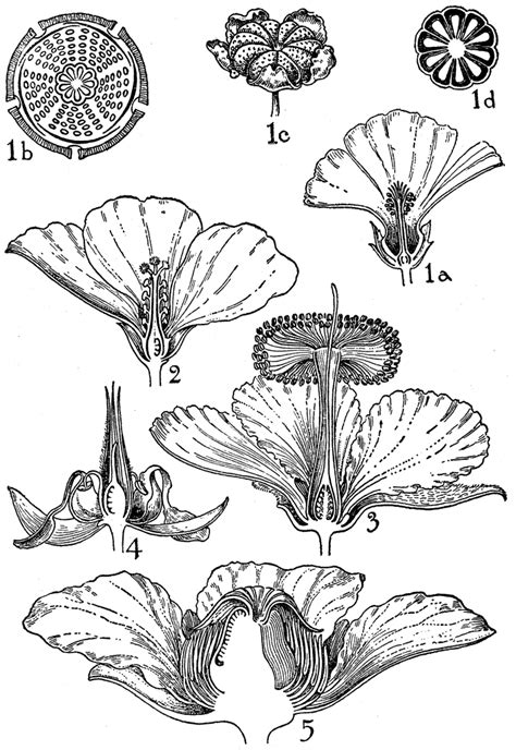 malvaceae floral diagram orders of malvaceae bombacaceae and dilleniaceae