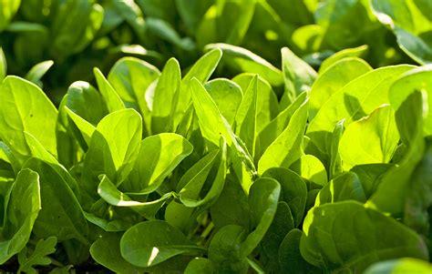heat l for plants cool season vegetable varieties harvest to table