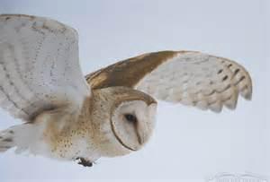 snowy barn owl i went looking for a snowy owl and got barn owls in flight