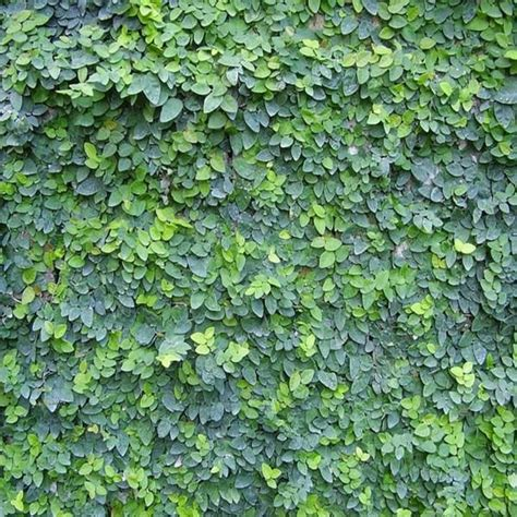 climbing fig plant 25 best ideas about ficus pumila on vines