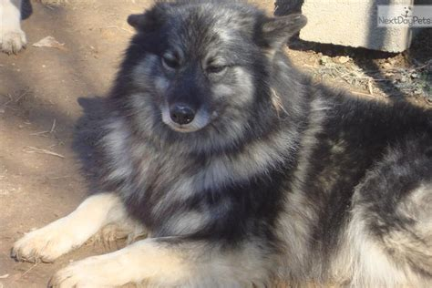 keeshond puppies for sale keeshond puppy for sale near knoxville tennessee ad4c980c 0741