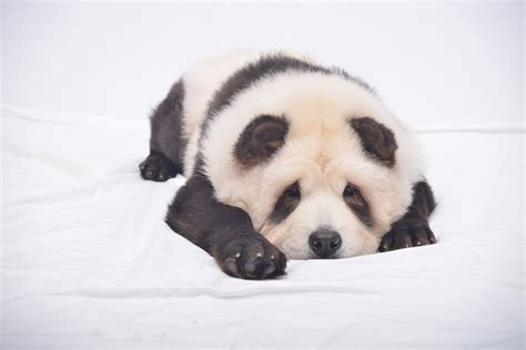 puppies that look like pandas panda puppies are your new adorable obsession new york post