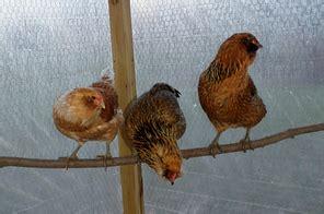 backyard chicken care chicken coops kittycooks