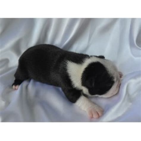 boston terrier puppies for sale in wv boston terrier breeders in west virginia breeds picture