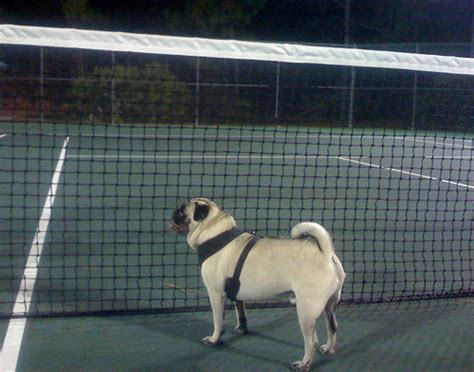 pug tennis the pug owned by pugs