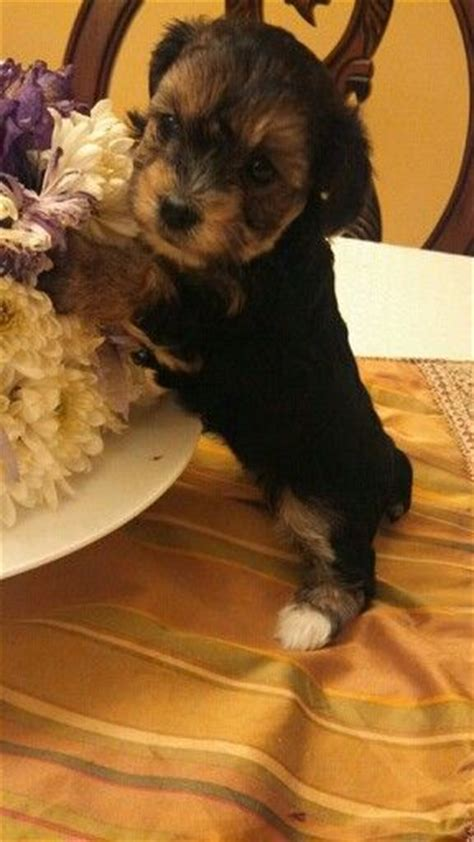yorkie mixed with poodle yorkie poodle mix awww