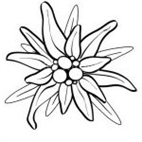 edelweiss flower coloring page edelweiss flower coloring page how to draw edelweiss