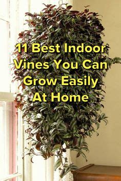 climbing vines indoors tips for growing common indoor indoor climbing plants how to grow climbing houseplants