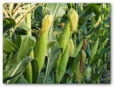 growing corn in your backyard backyard vegetable gardens on pinterest vegetables garden gardening and vegetable