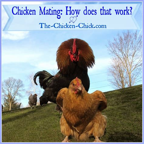 how do chickens mate diagram the chicken 174 chicken mating how does that work