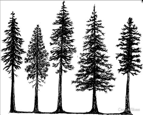 douglas fir tattoo image result for douglas fir outline