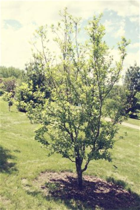 u of mn cherry trees schubert choke cherry trees for sale in mn minnesota wholesale trees schubert canada
