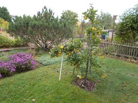 kirschlorbeer schneiden herbst den quittenbaum jetzt im herbst oder lieber im fr 252 hjahr