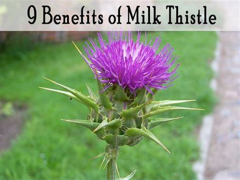 Herbs To Detox Anesthesia by 9 Benefits Of Milk Thistle Milk Thistle Medicine And