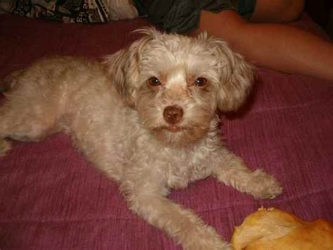 lifespan of chihuahua poodle mix chihuahua poodle mix 15 of 20 breeds picture