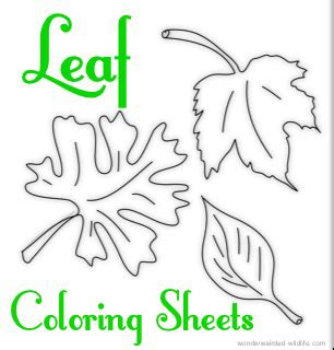 leaf identification coloring pages maple leaf coloring page collection wonderweirded