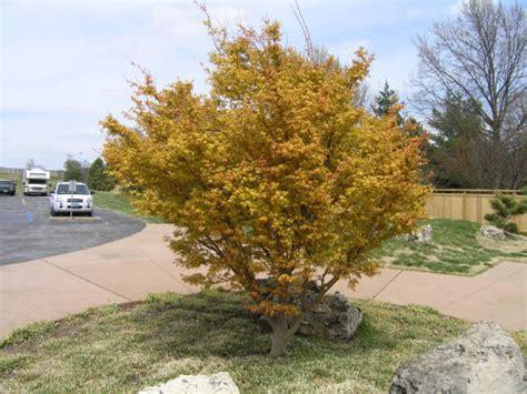 missouri maple trees japanese maple