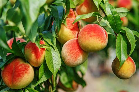 fruit zone zone 9 fruit tree varieties what fruits grow in zone 9