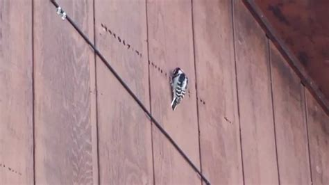 woodpecker on house siding why is a woodpecker pecking on my house