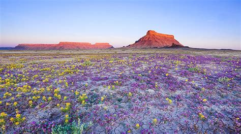 desert flowers flowers bloom in chile s atacama desert multimedia