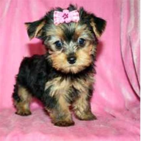 teacup yorkie information the gallery for gt baby teacup yorkies