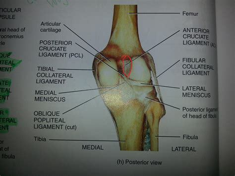 anterior cruciate ligament acl acl tendon driverlayer search engine