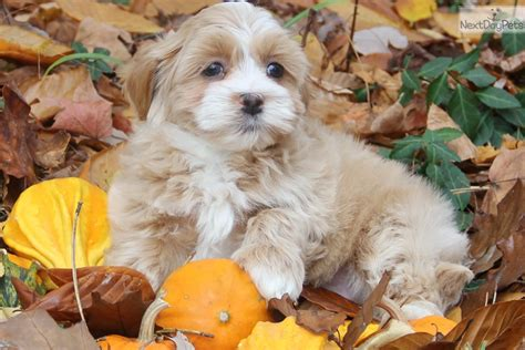 havanese puppies for sale near me havanese puppy for sale near indianapolis indiana 7597897a 1dc1