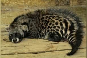 African civet - Wikipedia