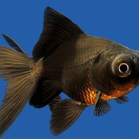 Pakan Yang Bagus Untuk Ikan Koki mengenal ikan koki black moor secara detail