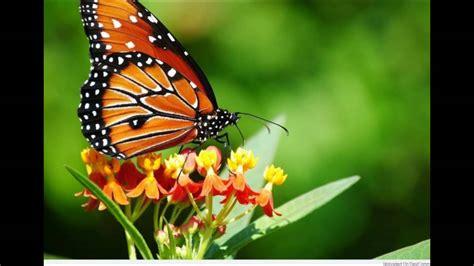 en guezel am resmi d 252 nyanın en g 252 zel kelebek resimleri youtube