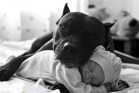 all black pitbull puppies baby pitbull puppies black www imgkid the image kid has it