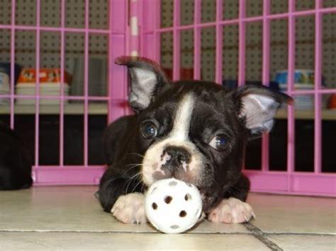 boston terrier puppies dogs  sale  nashville