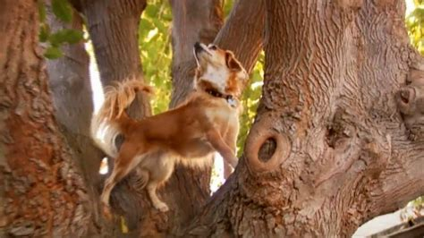 Doggie From Tree by Tree Climbing Puts Cats To Shame