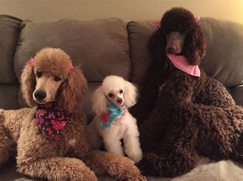 indiana poodle rescue groups 3898 best poodles best dogs images on
