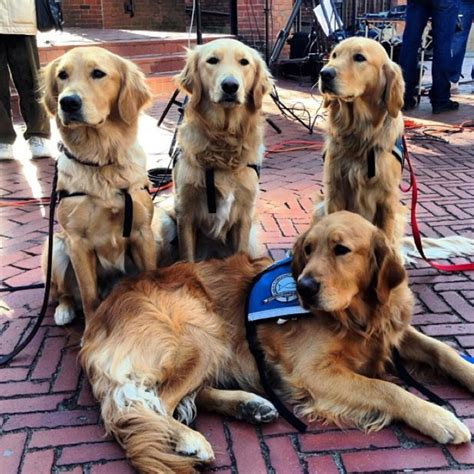 k9 comfort dogs k 9 parish comfort dogs dogdaz