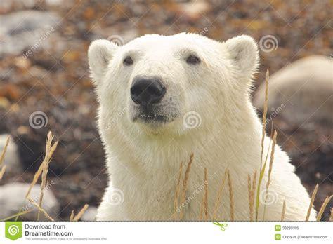 polar closeup portrait 1 royalty free stock photo image 33289385