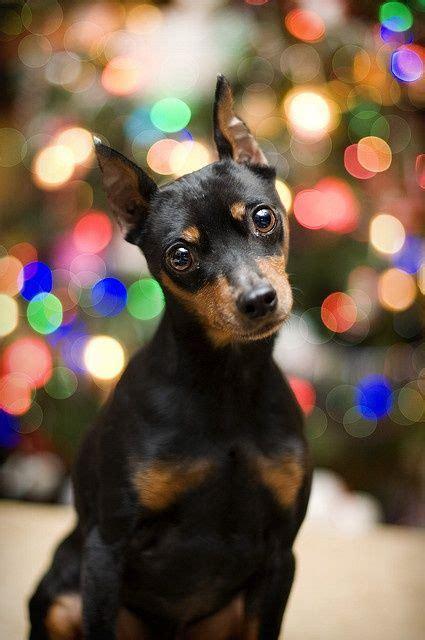 decide     dobbie puppy   mini pincher      freaking cute
