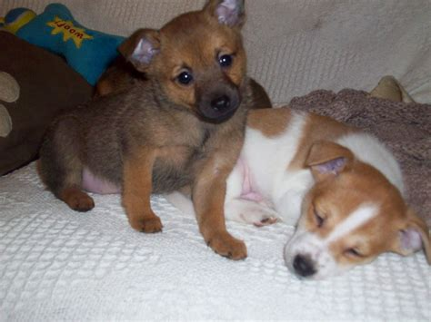pomeranian and boxer mix chihuahua and pomeranian mix picture breeders guide
