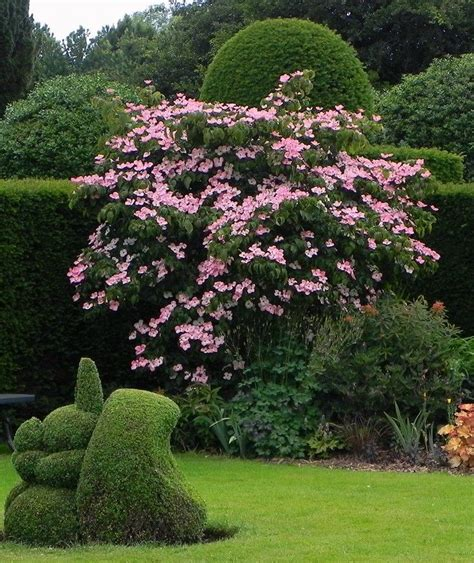 Cornus Kousa Satomi by Cornus Kousa Satomi Bingerden The Netherlands 2015