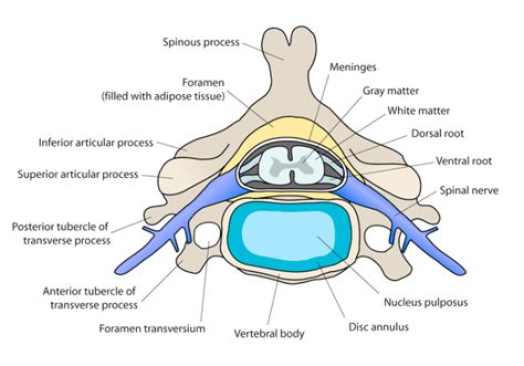 cross sectional view of the spinal cord relationships between aaa and cauda equina syndrome