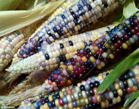 mind blowing photos farmer grows multi coloured corn