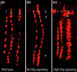 wg pattern formation divide and conquer pattern formation in drosophila