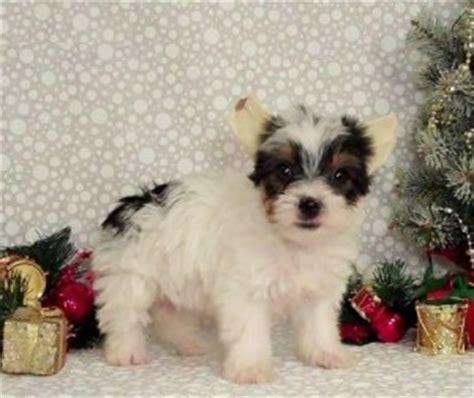 free puppies in las vegas pets las vegas nv free classified ads