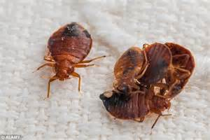 bed bug epidemic outbreak of bed bugs on british airways flight from the u