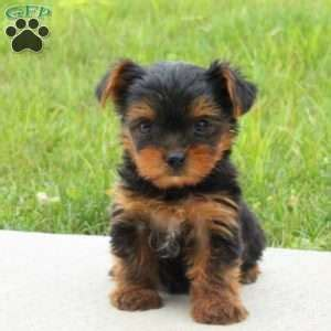 yorkie puppies in pa terrier puppies for sale greenfield puppies
