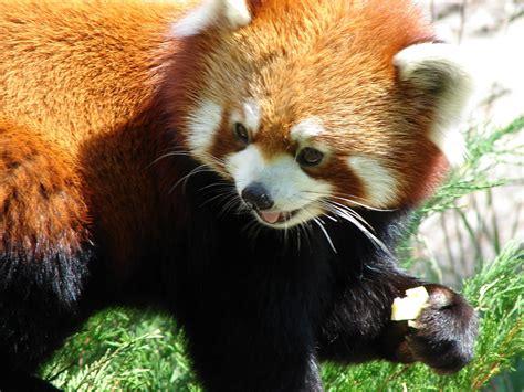 read panda the panda animals