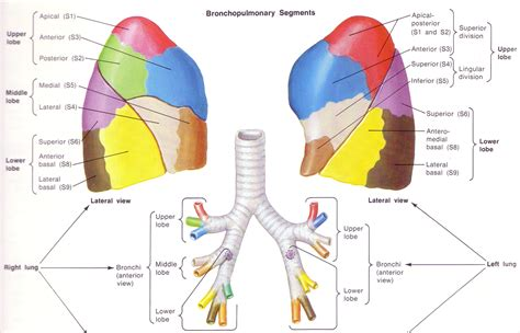 diagram of lung lobes image gallery lung anatomy lingula
