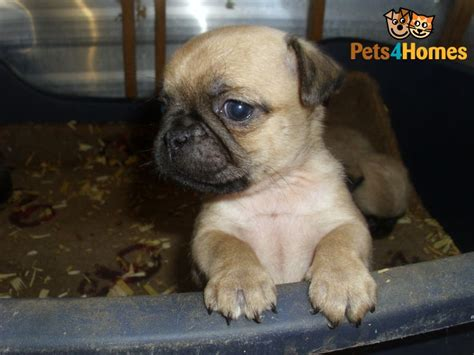 chug puppies for sale chug puppies for sale chichester west sussex pets4homes