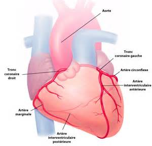 232 res coronaires coeur et maladies coronariennes
